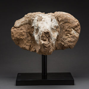 Prehistoric Fossilized Skull of a Bull 1